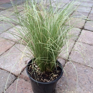 Carex comans 'Frosty Curls'