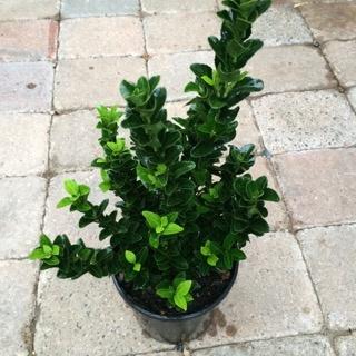 Euonymus j. 'Green Spire'