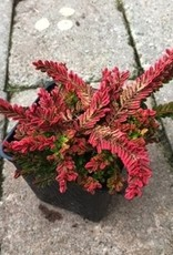 Calluna v. 'Wickware Flame'