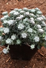 Sedum s. 'Cape Blanco'