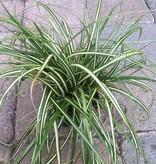 Carex o. 'Evergold'