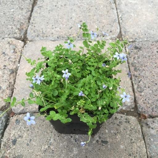 Isotoma fluviatillis
