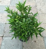 Sarcococca humilis 'Fragrant Valley'