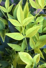 Nandina 'Lemon Lime'