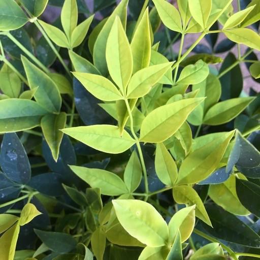 Nandina 'Lemon Lime'