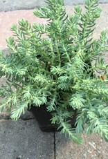 Sedum r. 'Blue Spruce'