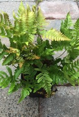 Dryopteris e. 'Autumn Fern'