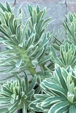 Euphorbia 'Silver Swan'