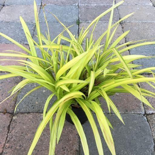 Carex s. 'Banana Boat'