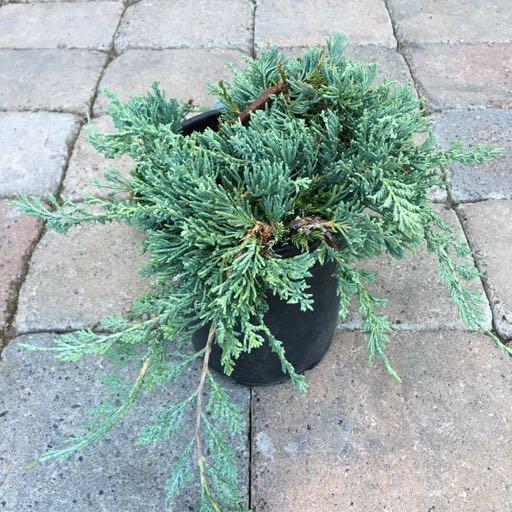 Juniperus horizontalis 'Wiltoni'