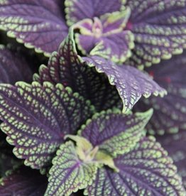 Coleus 'Abbey Road'