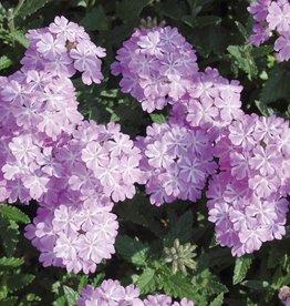 Verbena 'Lanai Lavender Star'