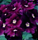 Verbena 'Lanai Deep Purple'