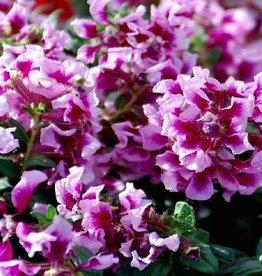 Cuphea 'Vienco Lavender'