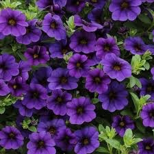 Calibrachoa 'Callie Dark Blue'