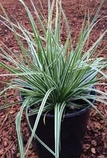 Carex o. 'Everest'