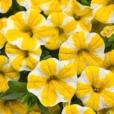 Calibrachoa 'Lemon Slice'