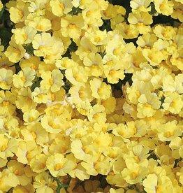 Nemesia 'Sunsatia Lemon'