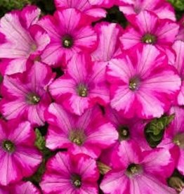 Petunia 'Supertunia Raspberry Blast'