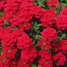Verbena 'Lanai Red'