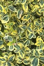 Euonymus f. 'Emerald n Gold'