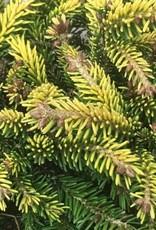 Picea orientalis 'Tom Thumb'