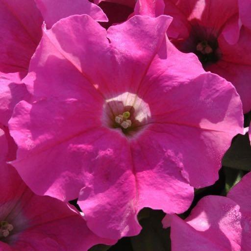 Petunia 'Supertunia Giant Pink'