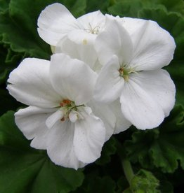 Geranium Zonal 'Allure White'