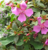 Centradenia 'Cascade'