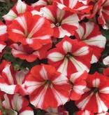 Petunia 'Peppy Red'