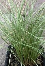 Carex comans 'Frosty Curls'
