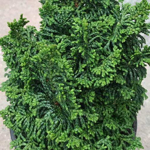 Cham. obtusa 'Gemstone'