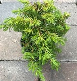 Juniperus conferta 'All Gold'