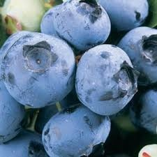 Blueberry 'Duke'