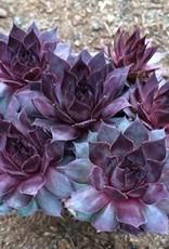 Sempervivum 'Twilight Blue'