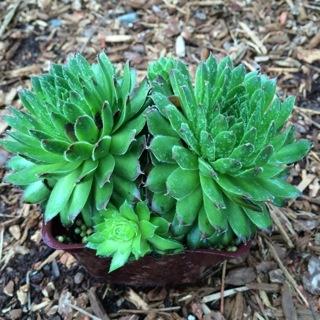 Sempervivum braunii - 4 inch