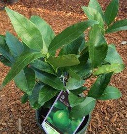 Citrus aurantifolia 'Bearss'
