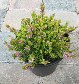 Calluna vulgaris 'Winter Chocolate'