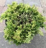 Juniperus horizontalis 'Mother Lode'