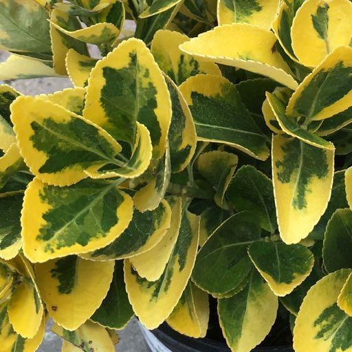 Euonymus j. 'Aureo-Marginatus'