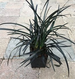 Ophiopogon plan. 'Nigrescens'