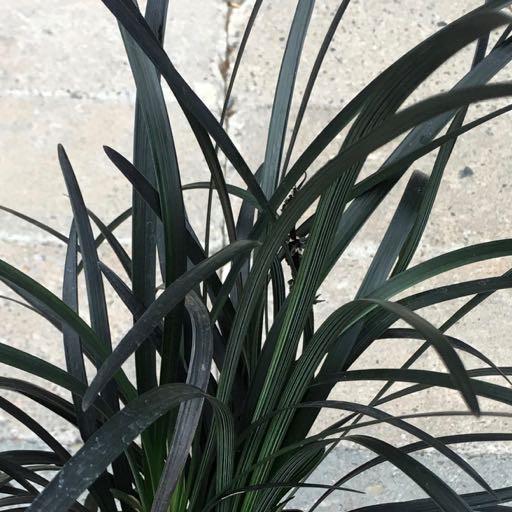 Ophiopogon plan. 'Nigrescens'