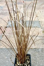 Carex 'Red Rooster'