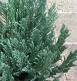 Juniperus s. 'Blue Forest'