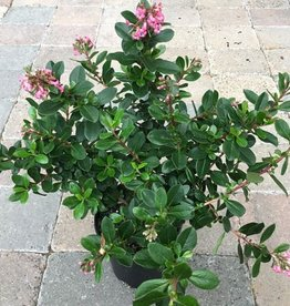 Escallonia 'Fradesii'