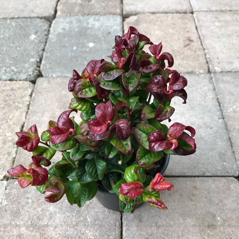 Leucothoe 'Curly Red'