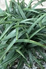 Ophiopogon j. 'Fuiri Gyoku Ryu'