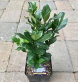 Gardenia jasminoides 'Kleim's Hardy'