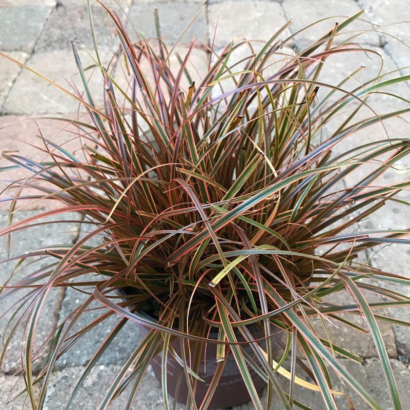 Uncinia rubra 'Belinda's Find'