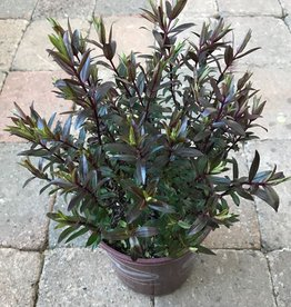 Hebe 'Purpurea'